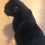 黒猫ピーターの脱毛騒ぎ、通院は卒業しました